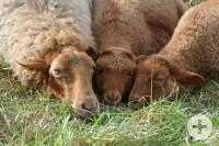 Drei Schafe des Schafwanderwegs