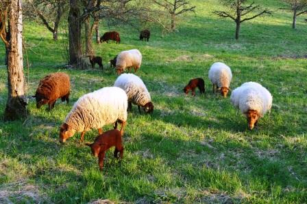 Schafe entlang des Schafwanderwegs